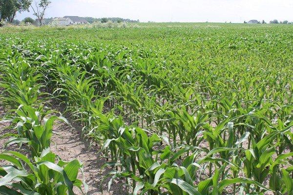 Corn near Ridgeway