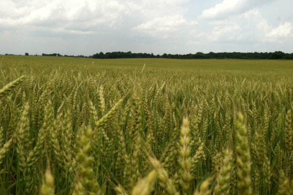 Marion County wheat