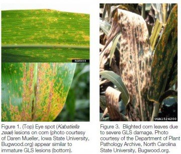 Examples of Grey Leaf Spot