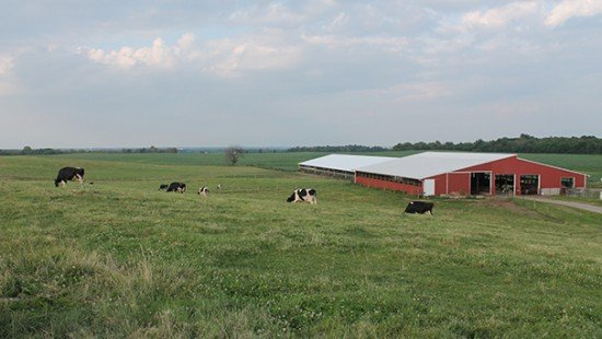Henry Farms pasture cows