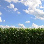 corn in July
