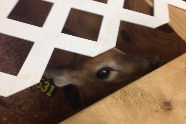 A fawn peeks through to say hello to Farm Factor guests at Paint Creek Whitetails.
