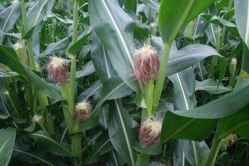 Ashland Co. corn