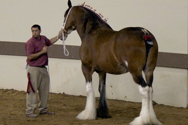 2014 indiana state fair draft horse show