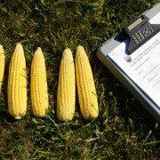 Seneca County corn