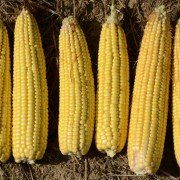 Warren corn