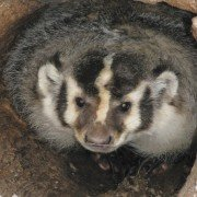 Badgers are settling in Ohio. Photo by ODNR.