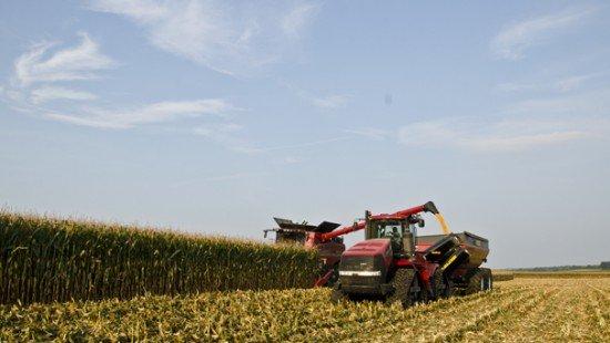 corn harvest 13