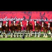 Budweiser Clydesdales 1
