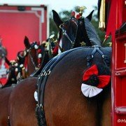 Budweiser Clydesdales 8