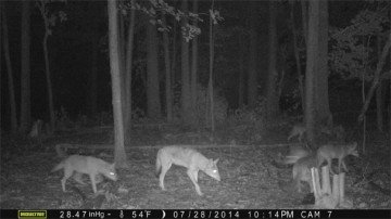 Tyler's photos from trail cameras prove that coyotes are in abundance on the Morrow County farm where he works.