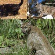 Ohio Cats