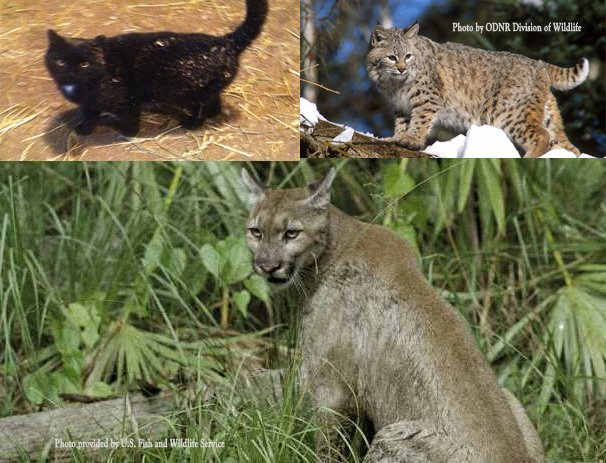 Which cat are you ACTUALLY seeing in the woods in Ohio