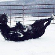 Draft horse enjoying the snow