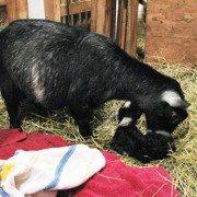 Pygmy goat doe and kid