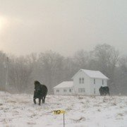 Sam, the miniature horse, enjoys the falling snow and temperatures of winter.