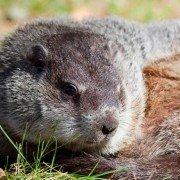 Groundhog photo by Nina Harfmann