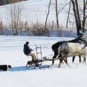Draft Horses in Snow1