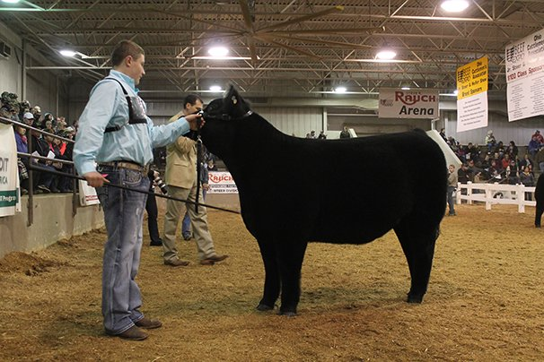 Champion Market Heifer: Kyle Piscione, Medina County