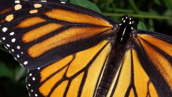 Monarch_In_May butterfly