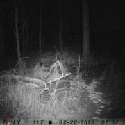 This feral hog was photographed in Delaware County in February 2015.