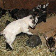 Arthur the Pygmy Goat 1