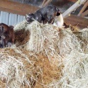 Crazy Baby Goats