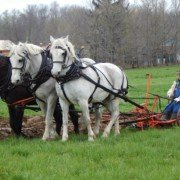 Photo courtesy of The Percheron Horse Association of America.