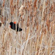 "Red-winged blackbirds reside in the marshy areas around farms and feast on field corn in the ""roasting ear"" stage."