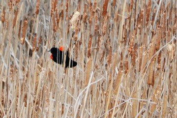 """Red-winged blackbirds reside in the marshy areas around farms and feast on field corn in the """"roasting ear"""" stage."""