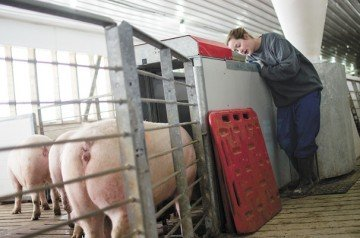 Maggie Keeler trains gilts to use the Electronic Sow Feeding system at Cooper Farms. Training is a simple but critical step in successful ESF operations.