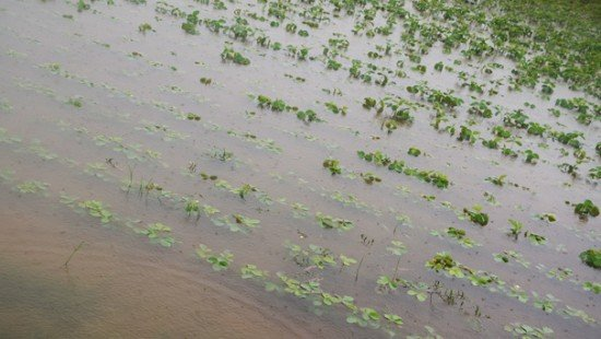 Submerged soybeans in Fairfield County in June.