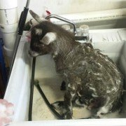 This little goat  seems to enjoy her time in the sink.