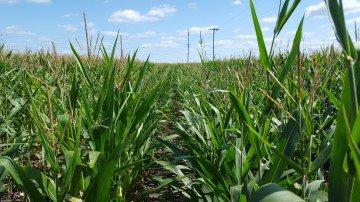 Fayette Co corn