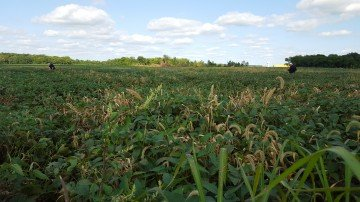 Clinton Co soybeans