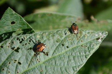 Japanese beetle on Allen Co. beans