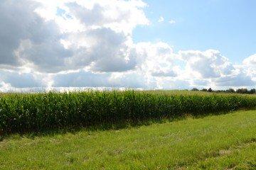Allen Co. corn