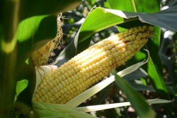 Clark Co. corn