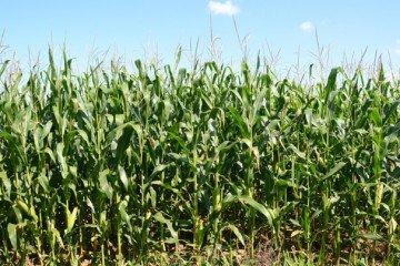 Champaign Co. corn