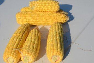 Darke Co. corn