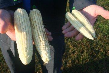 Medina Co. corn