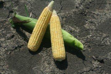 Crawford Co corn