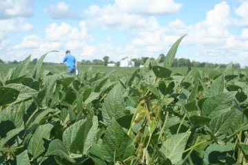 Marion Co soybeans