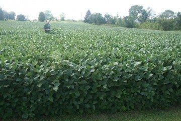 Morrow Co soybeans