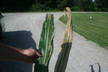 Morrow Co corn