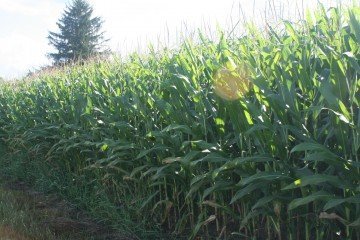 Knox Co corn