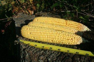 Licking Co corn
