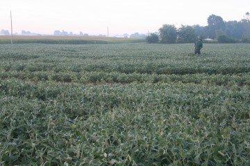 Delaware Co soybeans