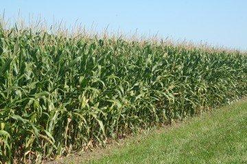 Madison Co corn