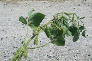 Pickaway Co soybeans